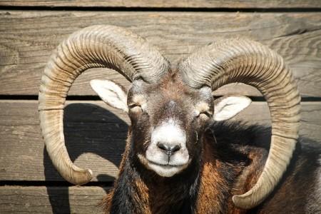 mouflon-721124_640